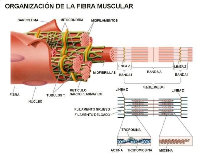 Organización de la fibra muscular de forma esquemática