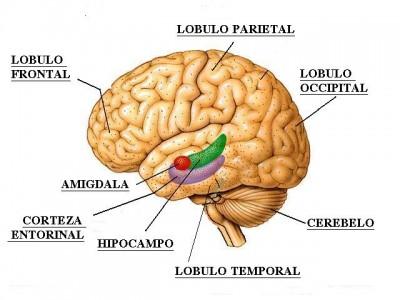 Hipocampo, ejercicio mejora la memoria