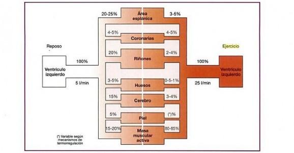 Esquema distribución sanguínea