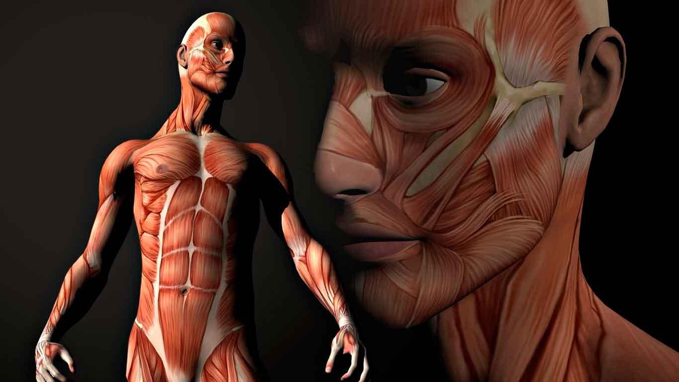 Músculo esquelético: anatomía funcional | Mundo Entrenamiento