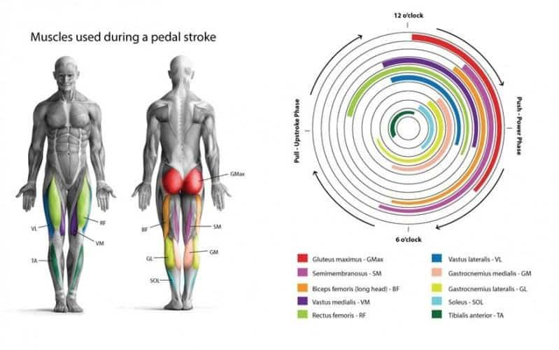 Músculos implicados en ciclismo