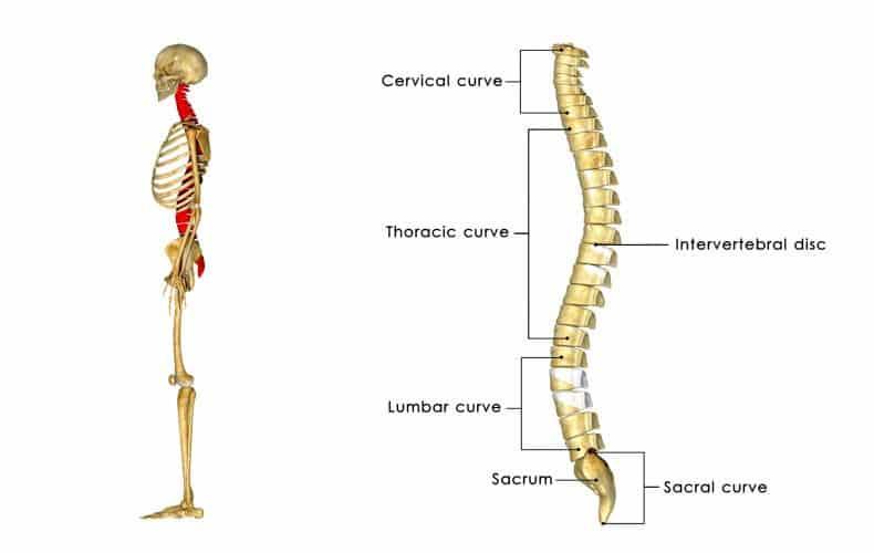 vértebras de la columna vertebral