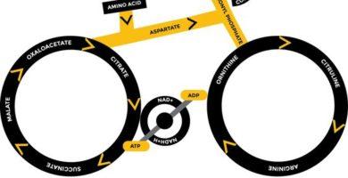 ¿Qué es el ciclo de Krebs? 1
