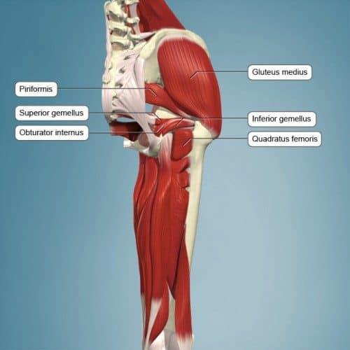 Musculatura de la región próxima al glúteo.