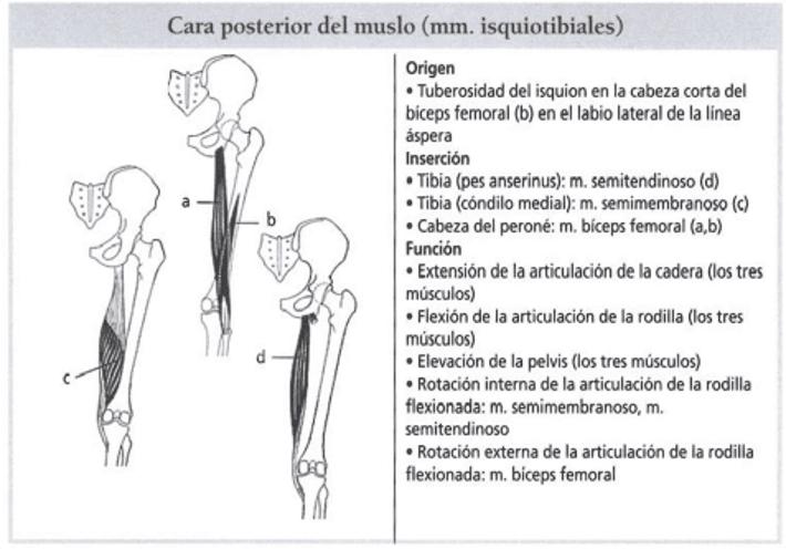 Anatomía y función de los isquiotibiales