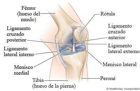 Estructura de la rodilla, meniscos de la rodilla