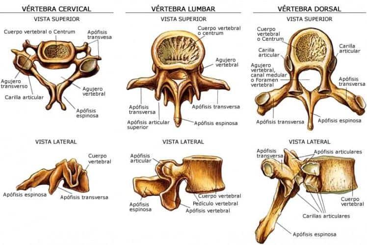 vértebras de la columna