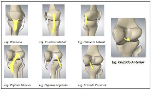 Ligamentos que dan estabilidad a la rodilla. ligamento cruzado anterior en el fútbol