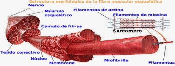 Figura 3. Fibra muscular.