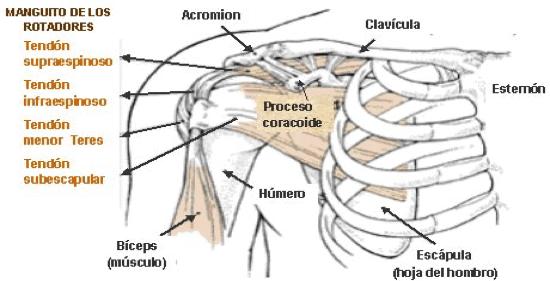 Figura 1. Estructura del hombro.