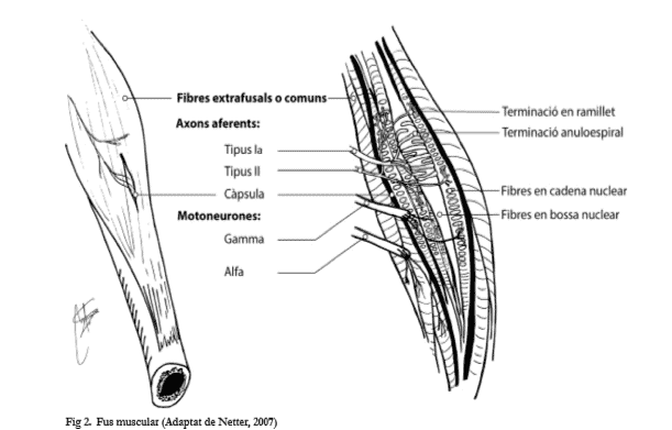 Usos musculares