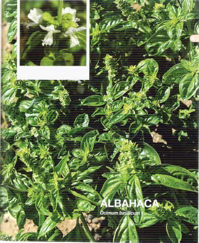 imagen 2 albahaca