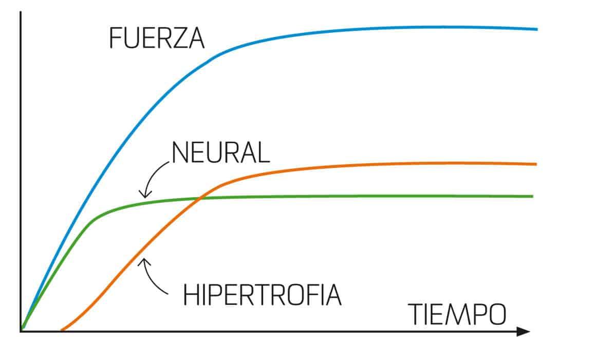 Gráfico 1. Adaptaciones fisiólogicas al entrenamiento de musculación, modificado de Wilmore & Costill (17).