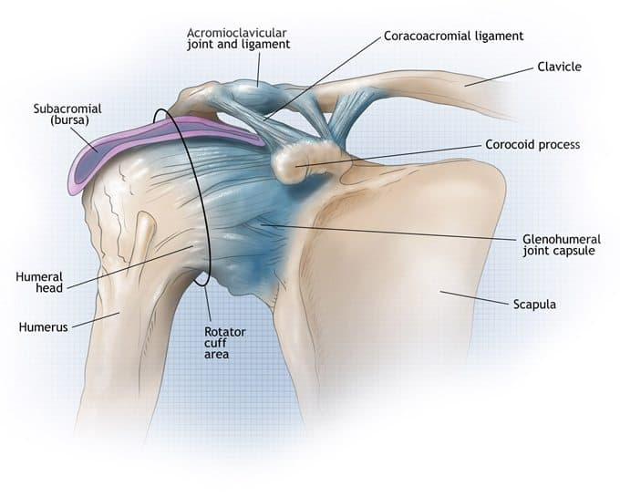 Tendones del hombro: estructura y ejercicios | Mundo Entrenamiento