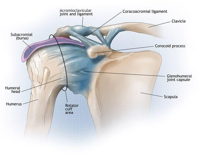 tendones del hombro