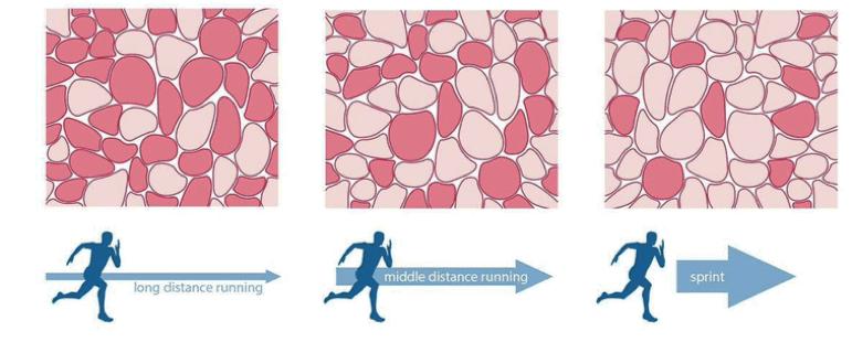 Figura 1: Color de fibras en función del entrenamiento del deportista. (Coffey & Hawley, 2017).