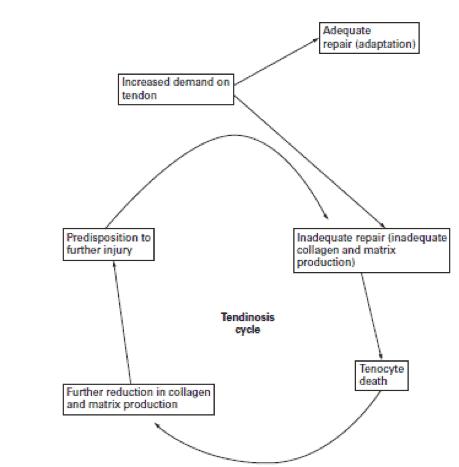 Figura 3. Ciclo de tendinosis