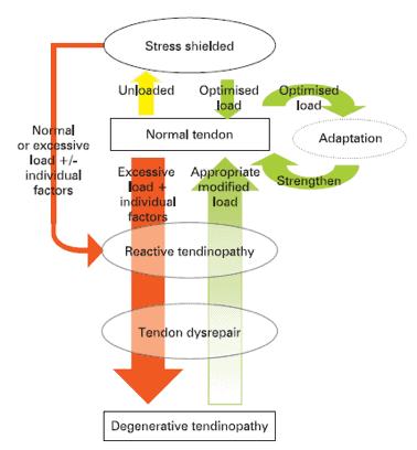 Figura 1 Modelo que explica un tendón normal a un tendón con tendinopatia pasando por las tres etapas de (Cook & Purdam, 2009): reactive tendinopathy, tendon dysrepair (failed healing) and degenerative tendinopathy.