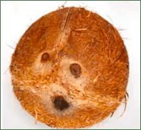 que sabes sobre el coco 2