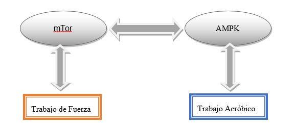 Proteínas quinasa especificas al ejercicio físico.