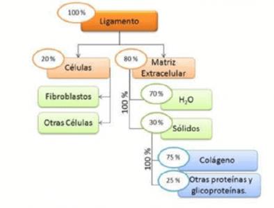 Composición y estructura del ligamento