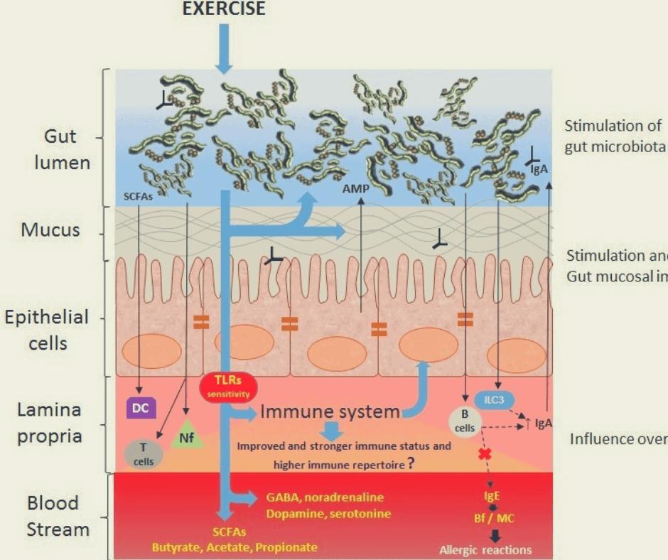 Absorción de nutrientes en el intestino y la importancia de la microbiota intestinal.