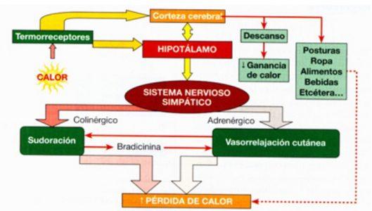 Esquema sobre el origen de la sudoración producida por el aumento de la temperatura corporal.