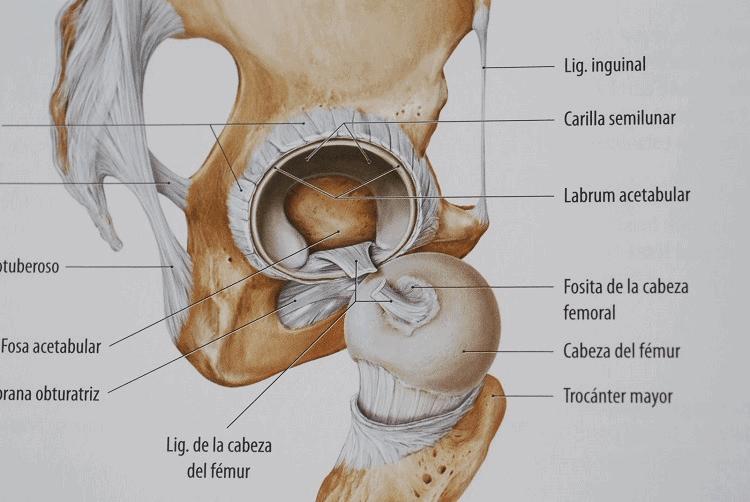 Anatomía de la articulación coxo-femoral