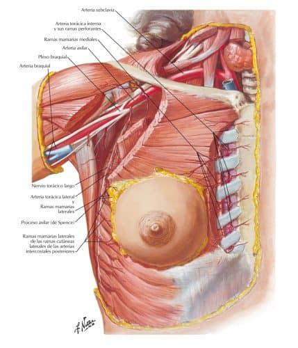 Anatomía de las mamas