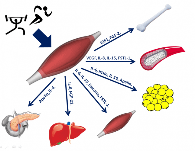 Miokinas y termogenesis