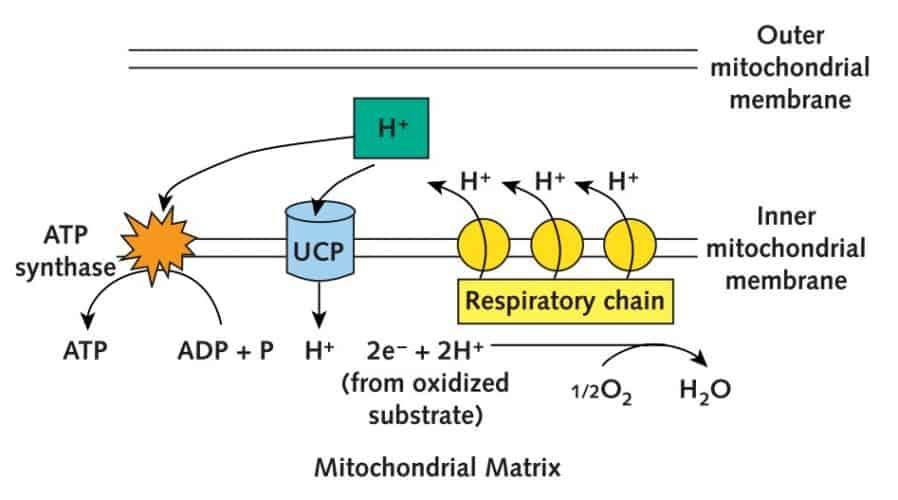Proteina UCP1 y termogenesis