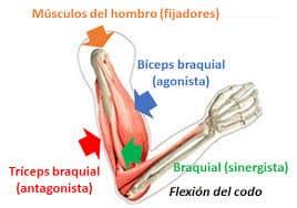 Músculos y su acción en el el movimiento.