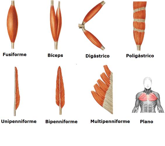 Tipos de Musculo y su importancia.