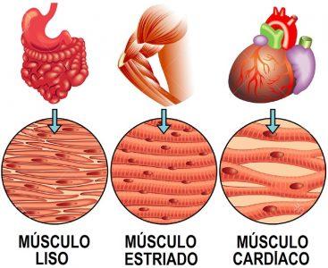 Tipos de músculos y sus diferencias anatómicas.