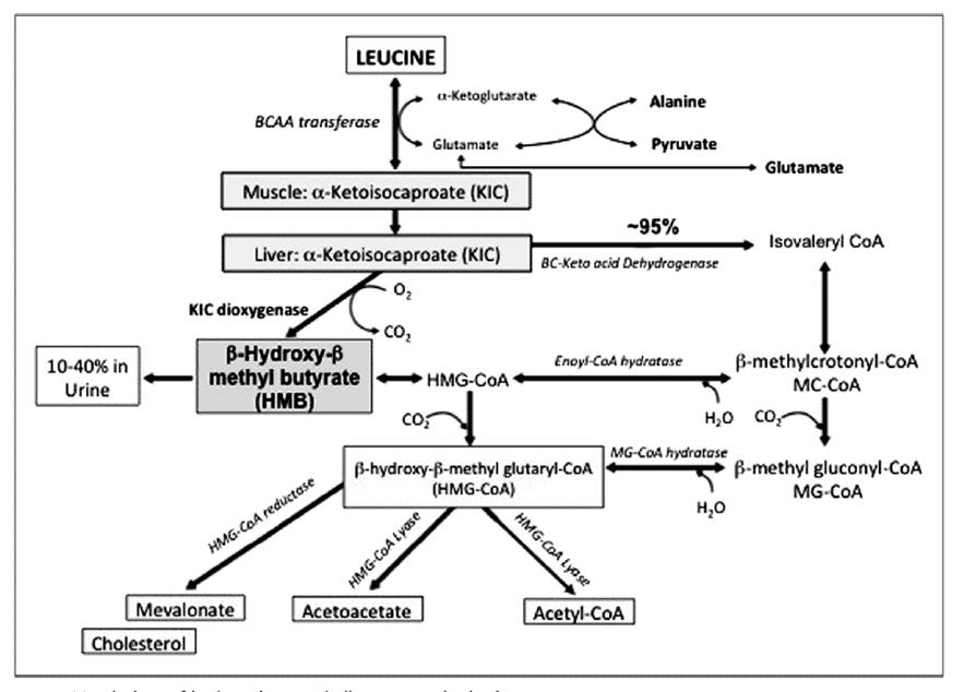 Fig. 2. Metabolismo del HMB en el cuerpo humano, según Landi et al. (2019), p. 39