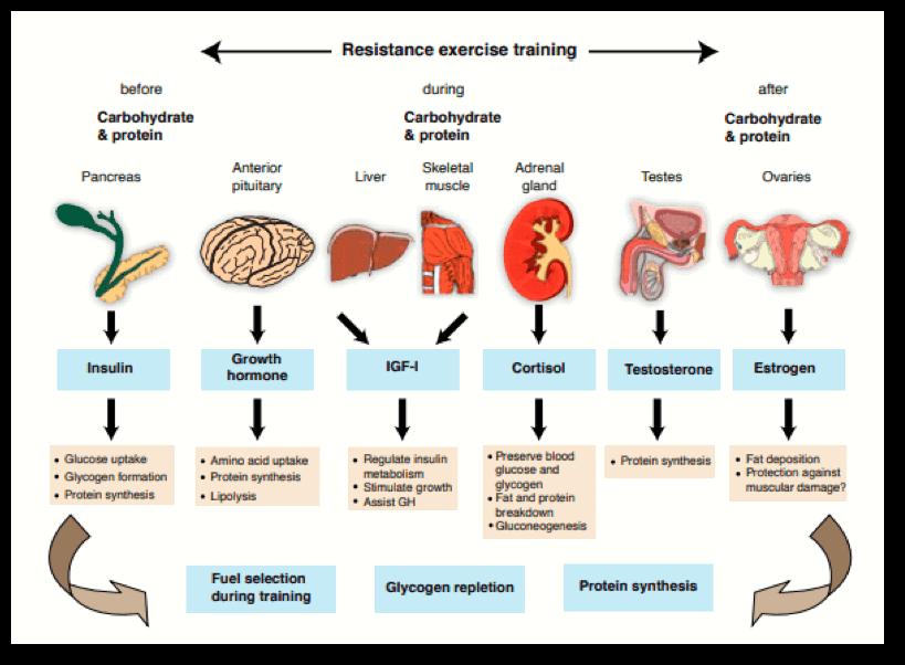 Imagen 3. Adaptaciones fisiógicas en el entrenamiento de hipertrofia muscular