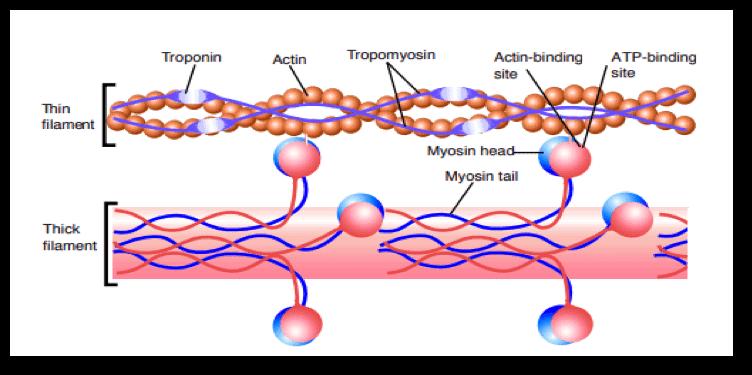 Imagen 2. Filamentos musculares.