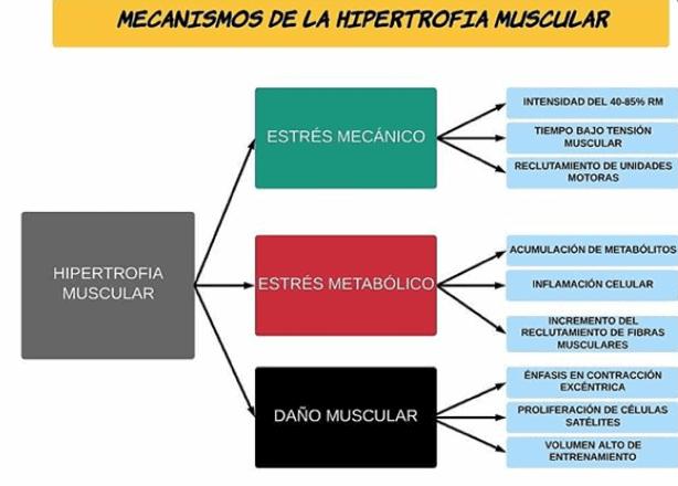 Figura 4. Mecanismos de la hipertrofia. Adaptaciones fisiógicas en el entrenamiento de hipertrofia muscular