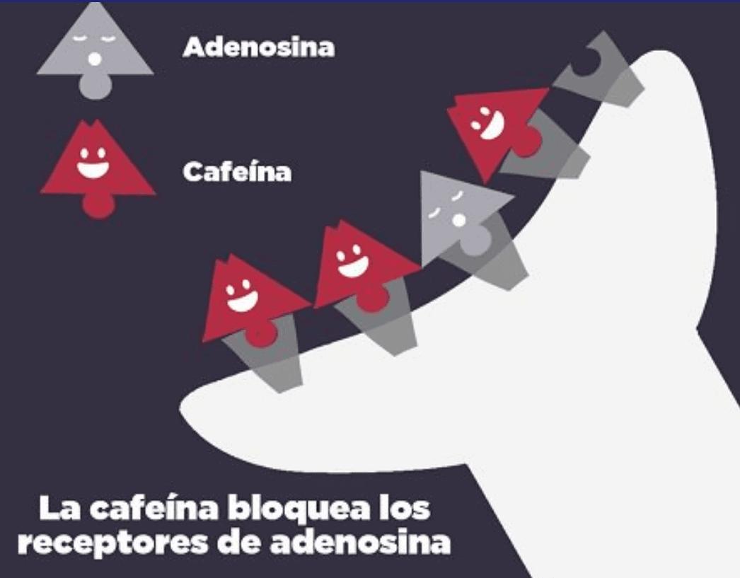 Imagen 3 - Mecanismos de acción de la cafeína, propios del té verde.