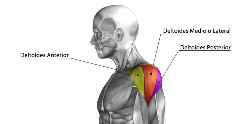 anatomía del deltoides