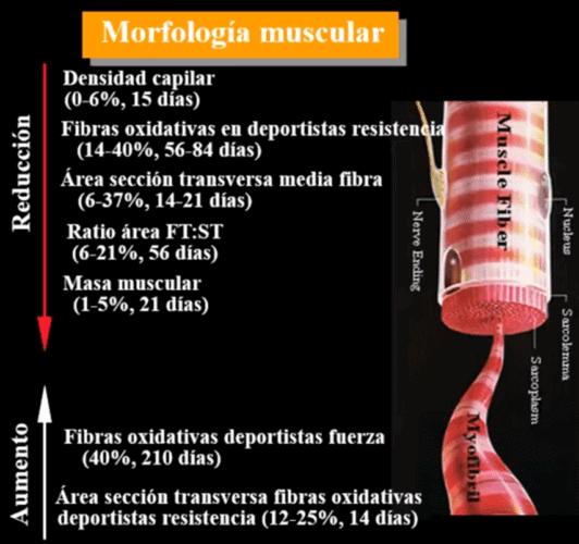 Cambios en la morfología muscular(1).