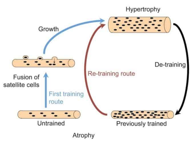 Mionucleos y adaptaciones musculares.