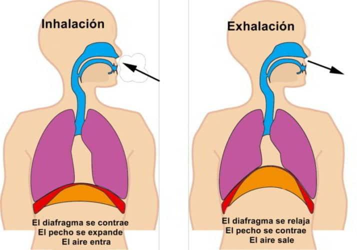 fases de la ventilación pulmonar.