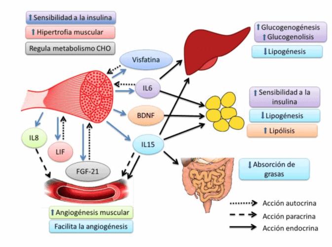 miocinas antiinflamatorias