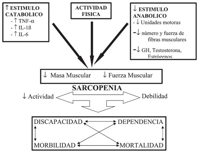 Figura 2. Consecuencias de la sarcopenia