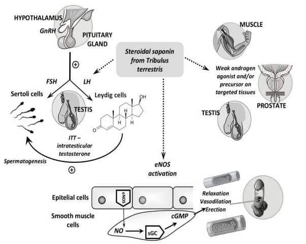 Mecanismos de accion del tribulus terrestris