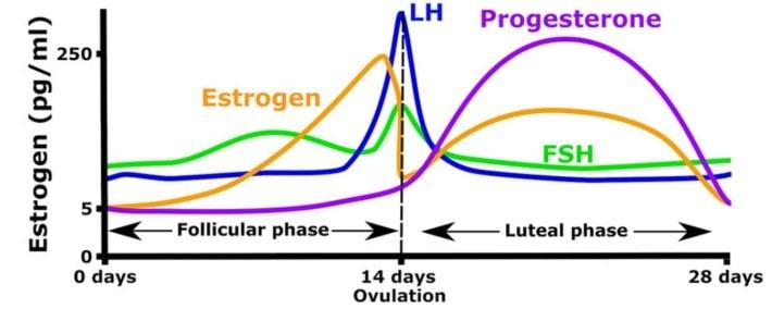 Fases del ciclo menstrual y hormonas femeninas
