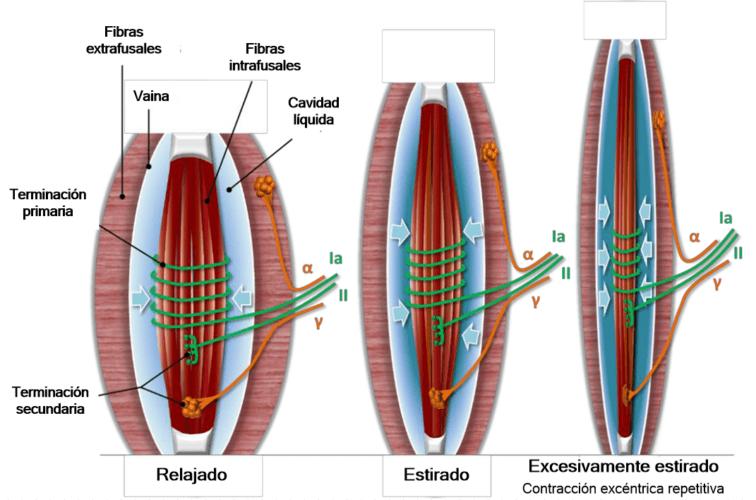 DOMS: Dolor muscular de orígen tardío 2