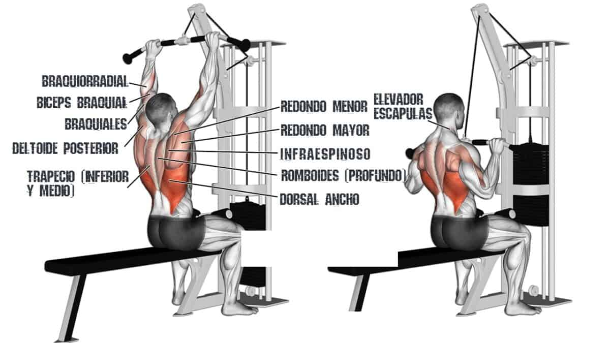 músculos que trabajan en el jalón al pecho