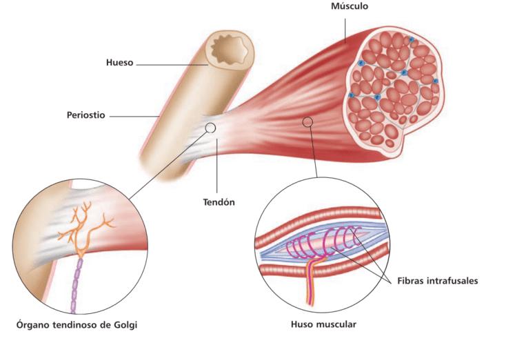 Receptores sensoriales del músculo: huso muscular y órgano tendinoso de Golgi